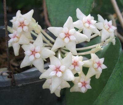 151 Hoya macrophylla No.2 30