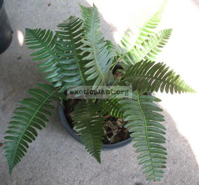 Humata pectinata (southern Thailand) 35