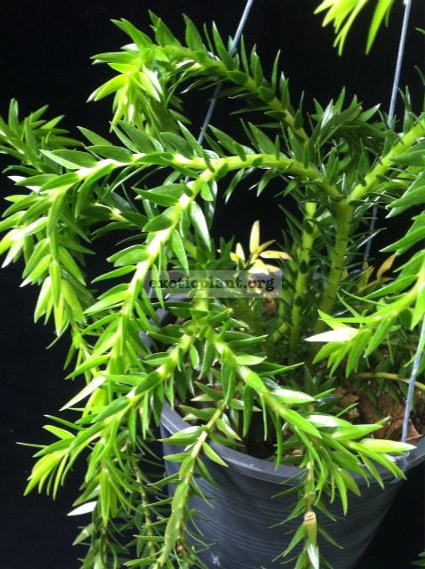 Huperzia phlegmaria (mutation) 30