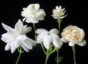 слева направо - Mysore Mullii, Mali Chat, Maid of Orleans, Mali Pikul, Mali Sorn