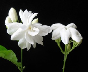 Jasminum sambac 'Mysore Mullii'(слева) & 'Maid of Orlean'(справа)