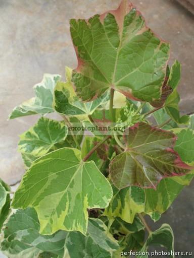 Jatropha curcas 'Brocade' 30