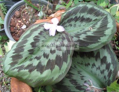 Kaempferia sp.(T02) Prachuap kirikhan province Thailand 24