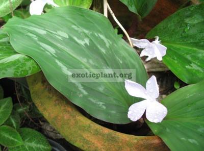 Kaempferia sp.(T03) Prachuap kirikhan province Thailand 24