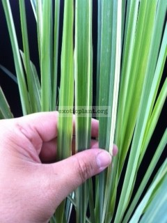 Cymbopogon variegated (Lemongrass variegated) 2 stems per pot 40