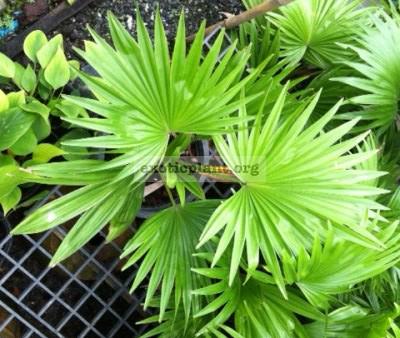 Livistona rotundifolia 26