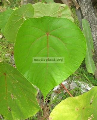 Macaranga tanarius (southern Thailand) 26