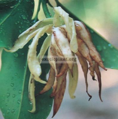 Magnolia elegans 35