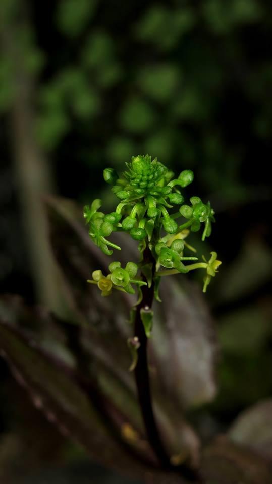 372 Malaxis calophylla clone 1 BS 12-40