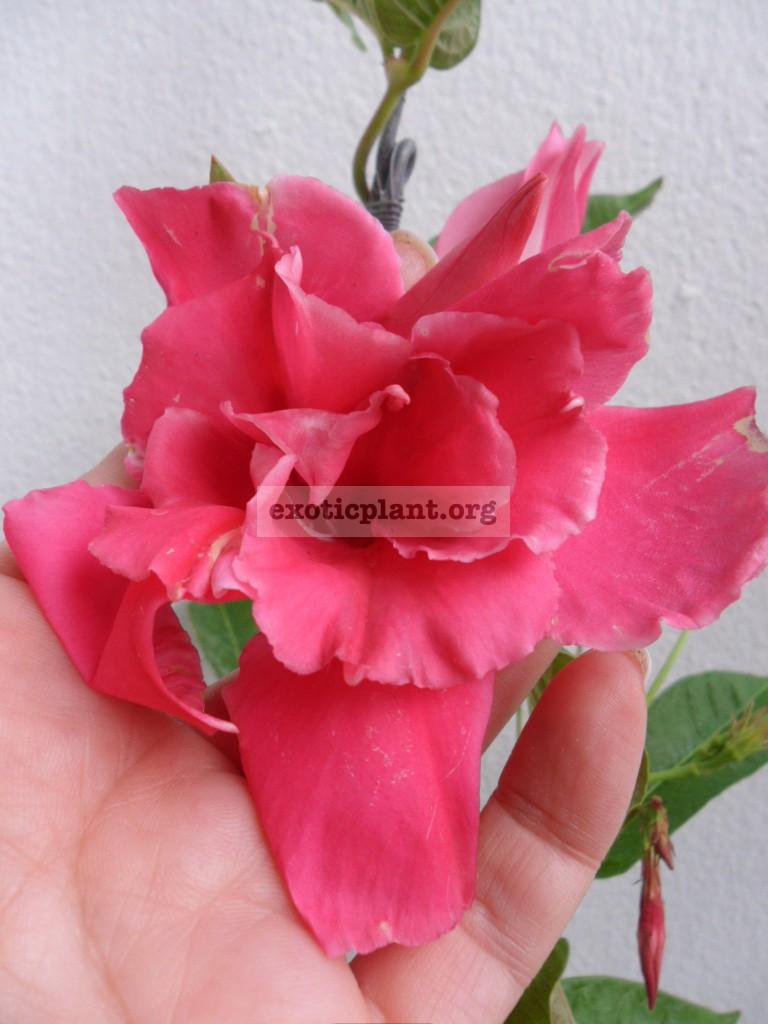 Mandevilla x amabilis Pink Perfect (Double petal and fragrant) 26