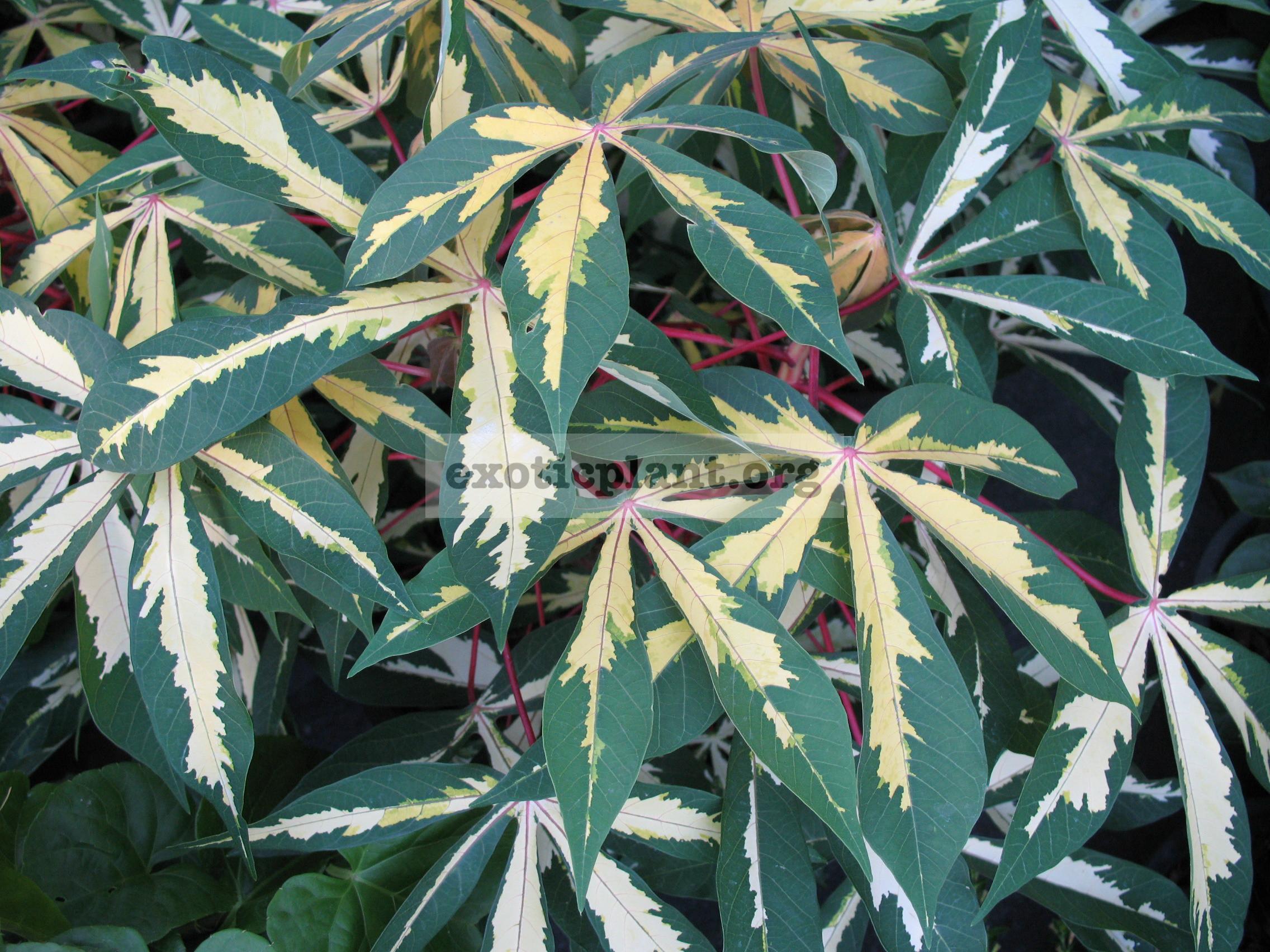 Manihot esculenta variegated 20
