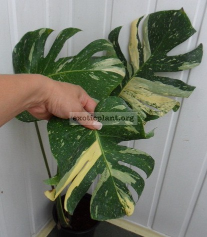 Monstera deliciosa  Thai Constellation  45-60-100