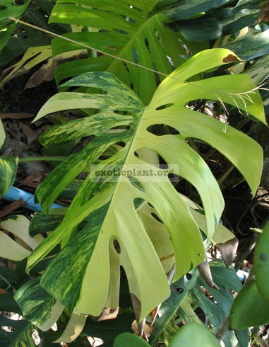 Monstera pertusa  Yellow Splash  22-35