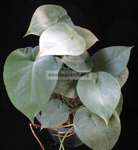 Monstera sp. (Blue heart leaf) 30-50   пример взрослого растения