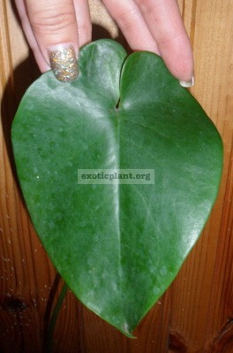 Monstera sp. (Blue heart leaf) 30-50
