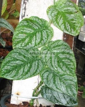 Monstera sp. (T02) 30   к продаже растение с ювенильными листьями