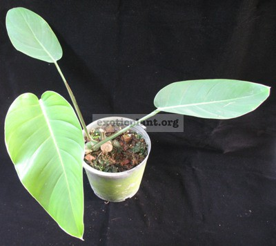 Monstera sp. (T03) (oval and blue leaf) = cv Blue Monster 30-50