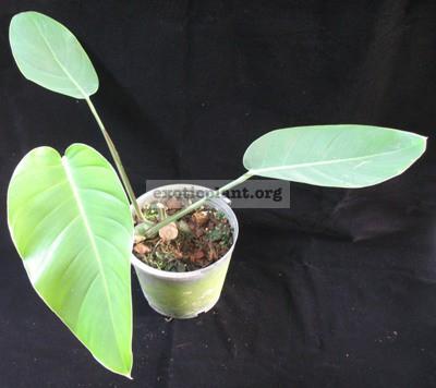 Monstera sp. (T03) (oval and blue leaf) = cv Blue Monster 30-50 (по цене 30 временно недоступна к заказу)