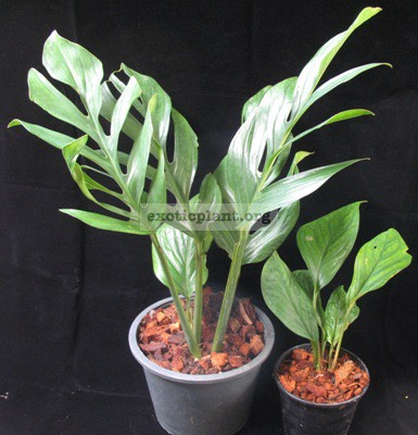 Monstera sp. (T04) Southern Thailand 30-75