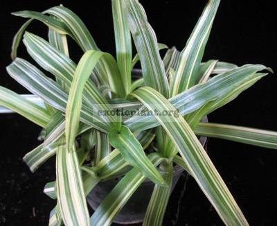Murdannia loriformis variegated 24