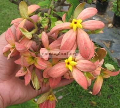 Mussaenda philippica Marmalade 30