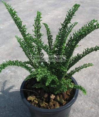 Nephrolepis exaltata cv. Wagneri (small leaf) 24