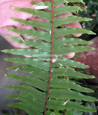 Nephrolepis faltata variegated (leaf length   50 cm.) 54