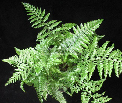 Nephrolepis sp.(T03) 20
