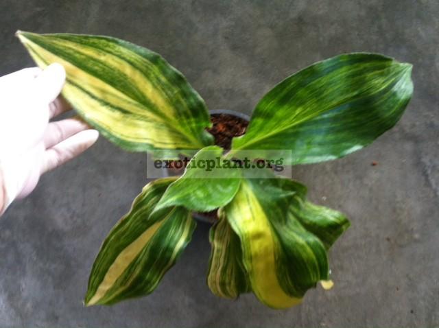 Palisota barteri variegated 75