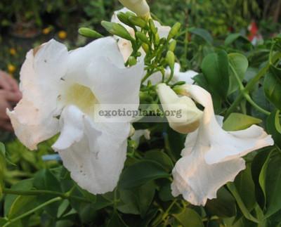 Pandorea jasminoides 'Lady Di' 35