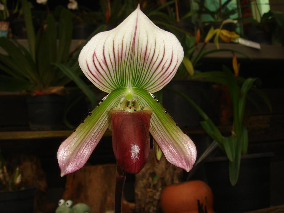 416 Paphiopedilum callosum (PW-38,70,110) Per growth BS 20