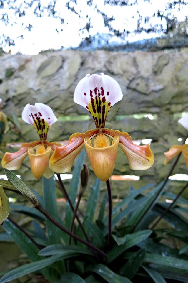 424 Paphiopedilum gratrixianum ( PW-34) Per growth BS 20