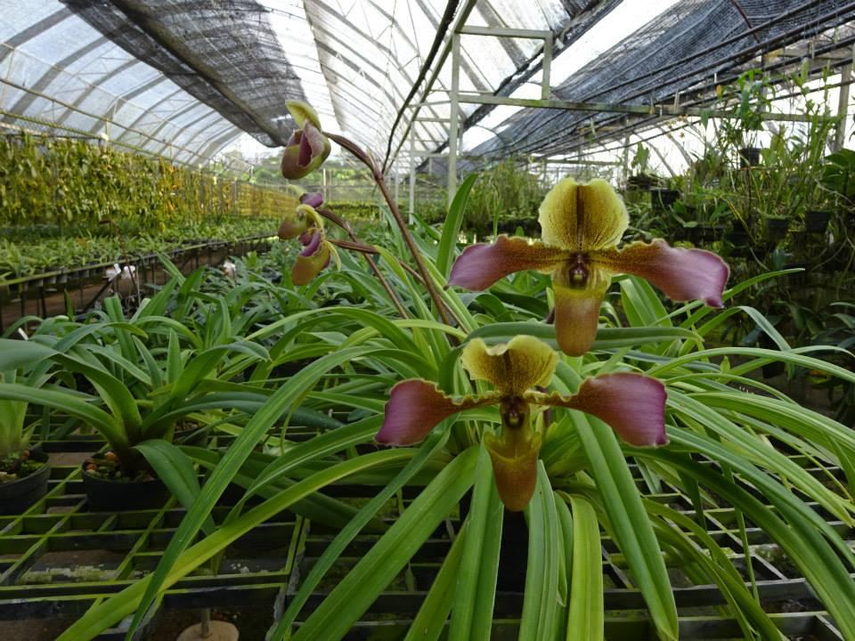 427 Paphiopedilum hirsutissimum Per growth BS 20