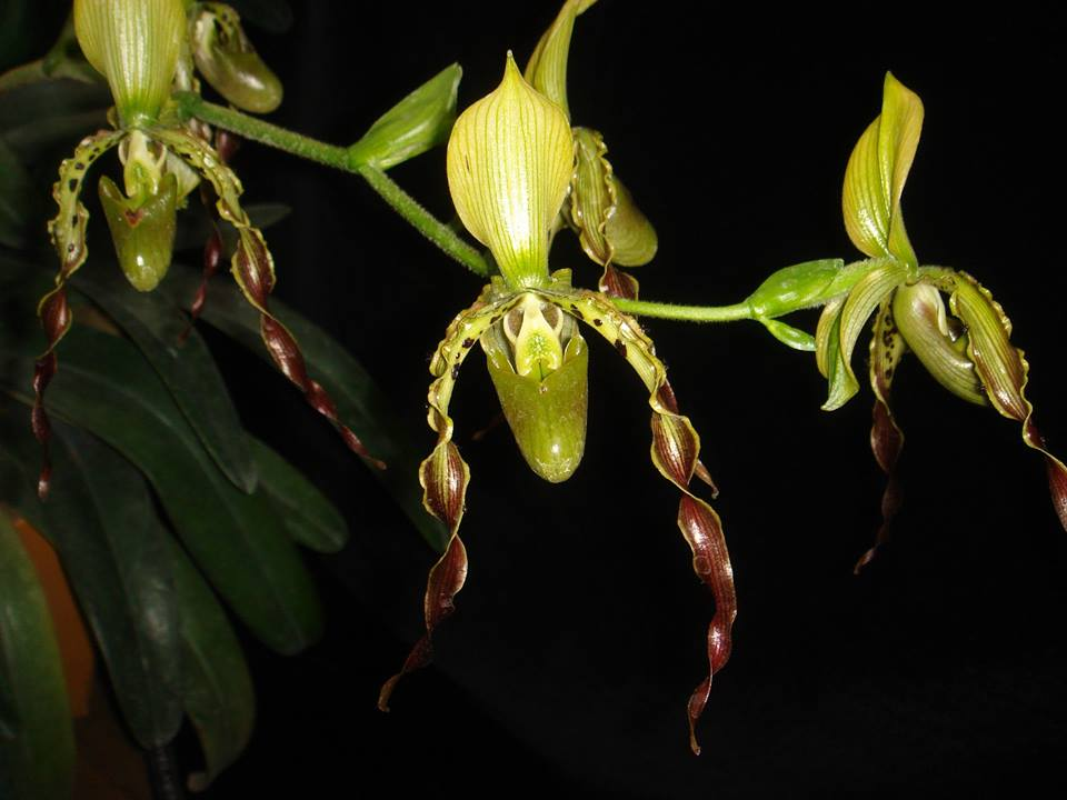 433 Paphiopedilum parishii ( JQ-197) Per growth BS 30