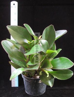 Peperomia clusifolia (red margin leaf) 10