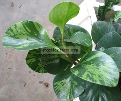 Peperomia obtusifolia 'Green Gold' 10