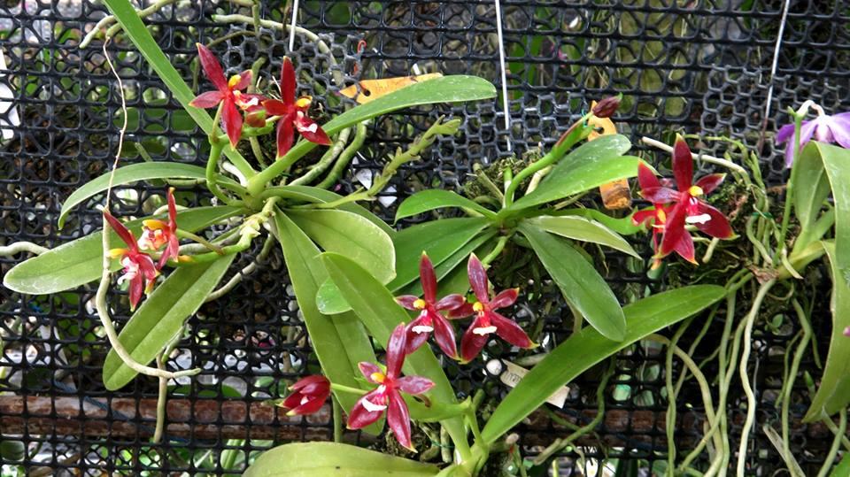 454 Phalaenopsis cornu-cervi  Red  BS 55
