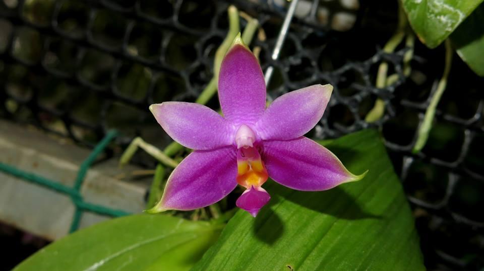473 Phalaenopsis violacea   sumatra   Fragrant BS 20