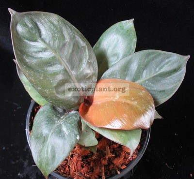 Philodendron Black Cardinal Compact 44