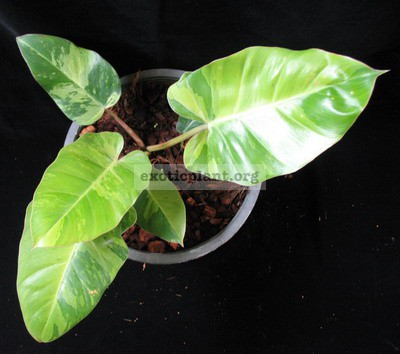 Philodendron Jungle Fever variegated (T01) = philodendron Loa Spot 44