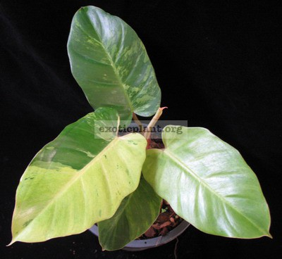 Philodendron Jungle Fever variegated (T02) = philodendron Loa Spot variegated 44-60