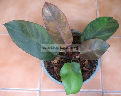 Philodendron Black Cardinal variegated (No.3) 90-120