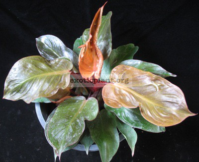 Philodendron Cherry Red Dwarf 30