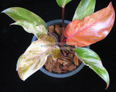 Philodendron Cherry Red variegated 75