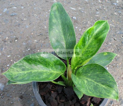 Philodendron Congo Green variegated 44