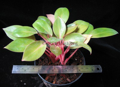 Philodendron Congo Red Dwarf 14