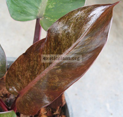 Philodendron Emerald Red Mosaic 75
