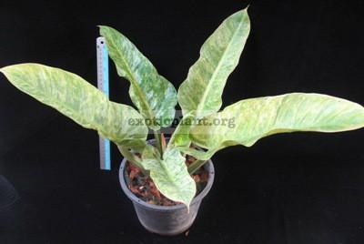 Philodendron Green Granito 100