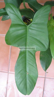 Philodendron Hammer Head 20
