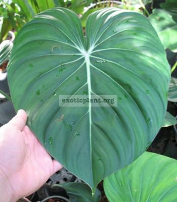 Philodendron McDowellii (gloriosum x ..?) 30-75-100 по цене 30 временно недоступен